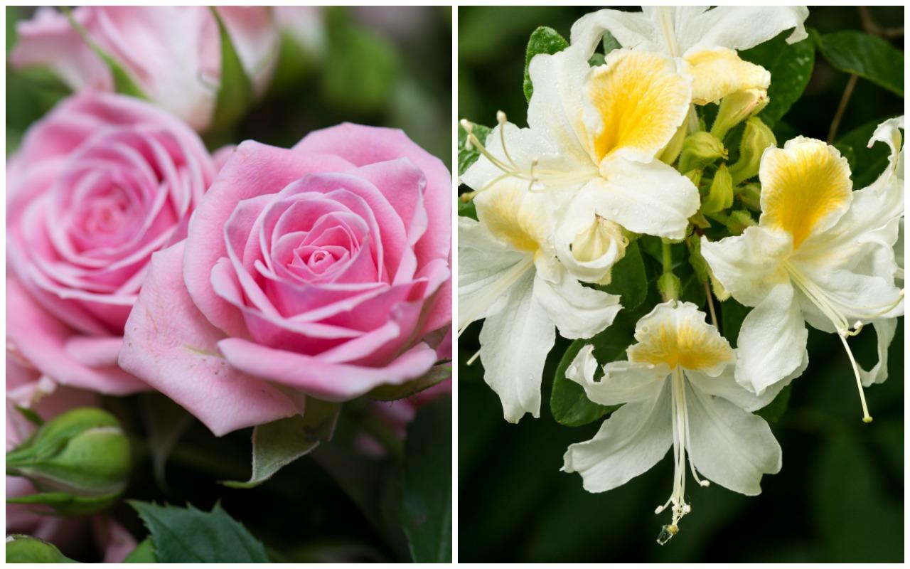 Birth Month Flowers Rose Honeysuckle June