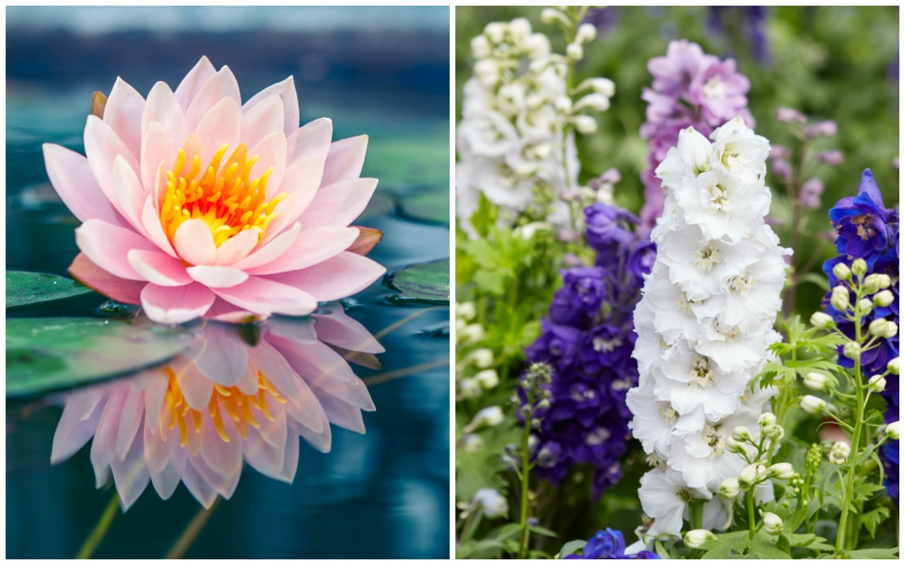 Birth month flowers and their meanings good living guide birth month flowers water lily larkspur july izmirmasajfo