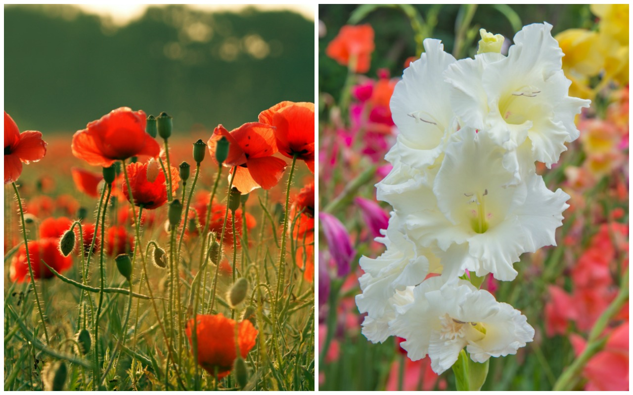 Birth Month Flowers Poppy Gladiolus August