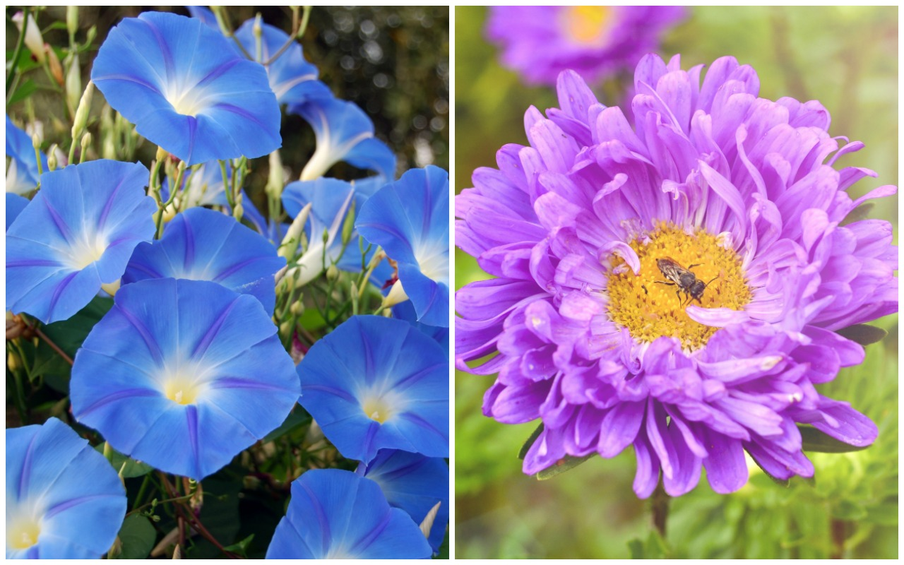 Birth month flowers and their meanings good living guide birth month flowers morning glory aster izmirmasajfo