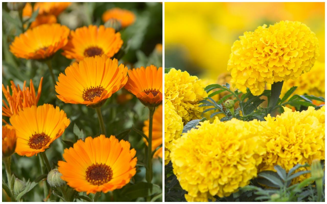 Birth Month Flowers Calendula Marigold October