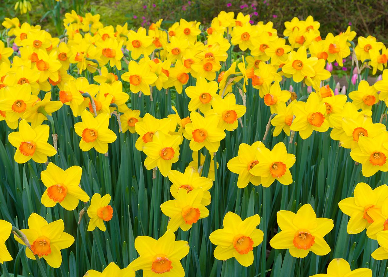 Birth Month Flowers Daffodils March