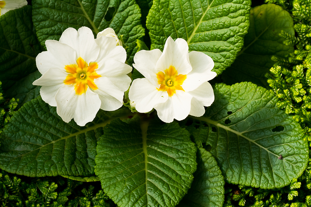 Birth Month Flowers Primrose February