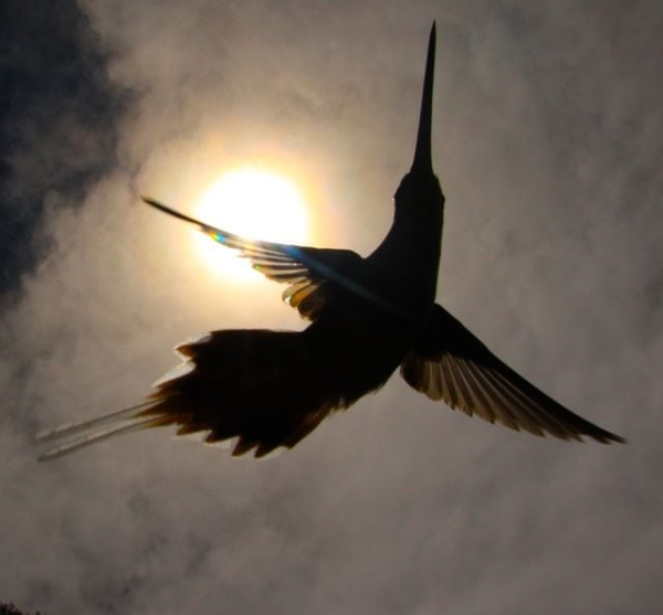 Photos Of Hummingbirds' Wings