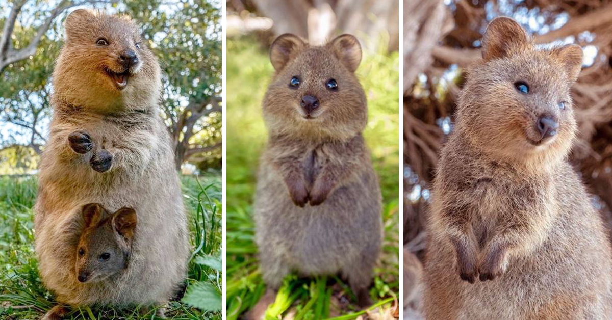 Meet The Quokka - 'The World's Happiest Animal'