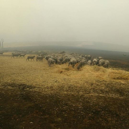 Border Collie Saves Flock Of Sheep From Raging Australian Bushfire