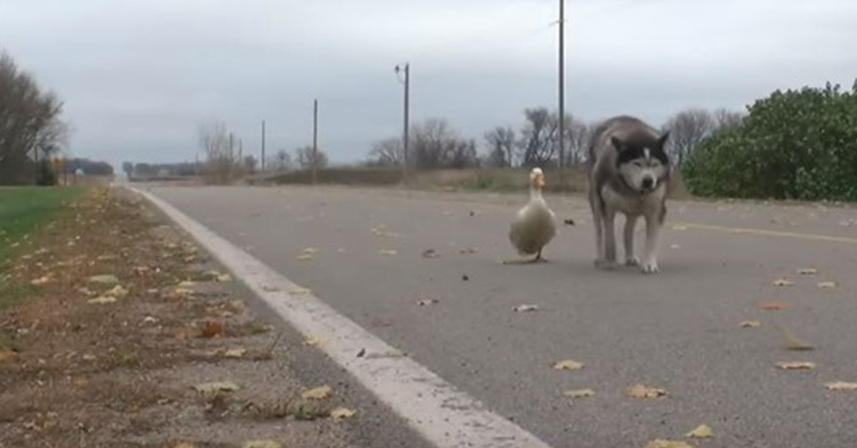 Quackers The Duck and Max The Malamute Become Best Friends