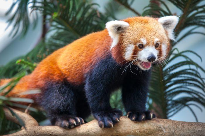 red panda daycare