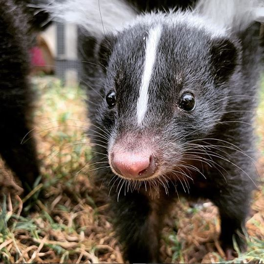 Baby Skunks Practice Their Stomping Routine And Make Adorable Noises