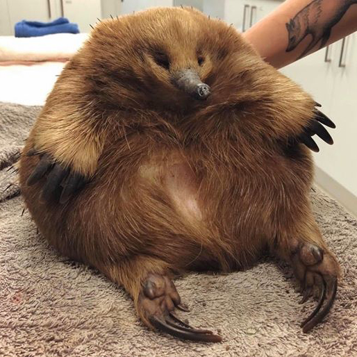 Eleanor the Echidna Is So Chonky She Survived A Car Hit