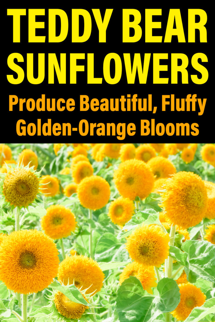 Teddy Bear Sunflowers Produce Beautiful, Fluffy Golden-Orange Blooms