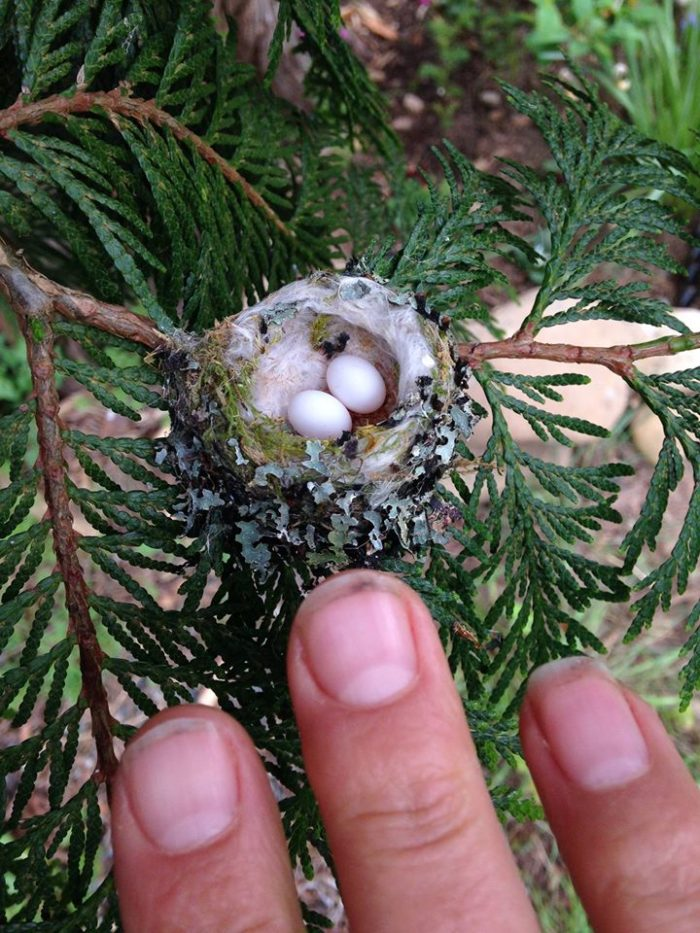 Hummingbird Nests