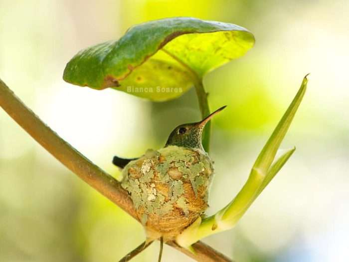 Shrewd Little Hummingbird Builds Nest With Roof To Stay Dry