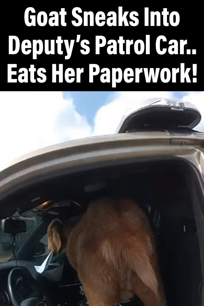Goat Sneaks Into Deputy's Patrol Car