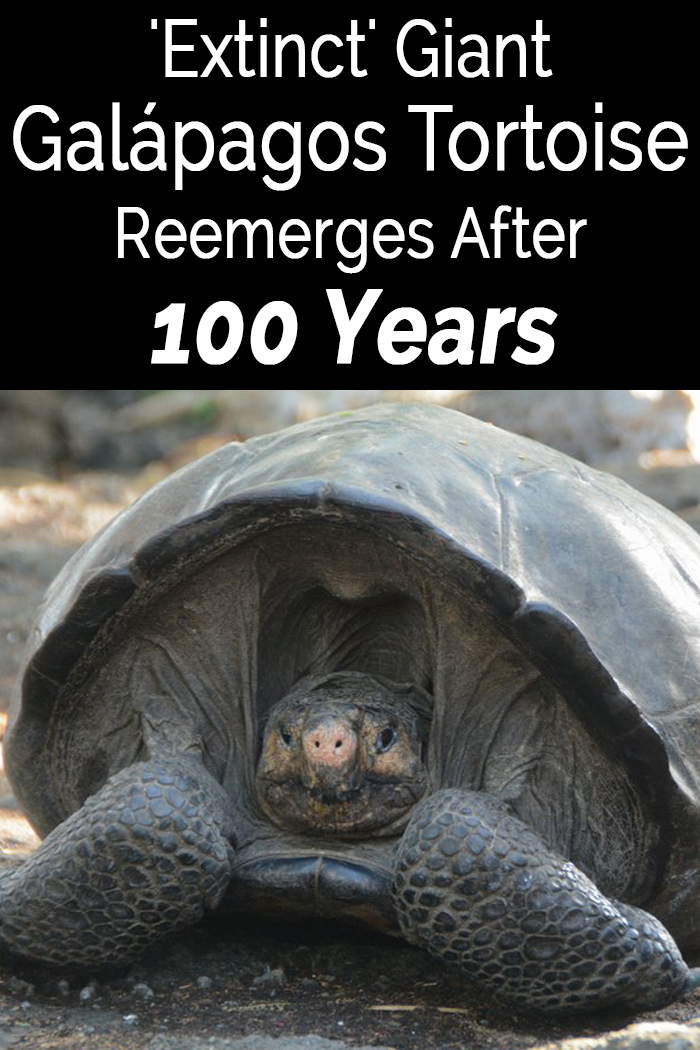 'Extinct' Giant Galápagos Tortoise Reemerges After 100 Years