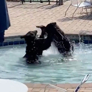 Seven Black Bears Crash Pool Party at Gatlinburg Resort