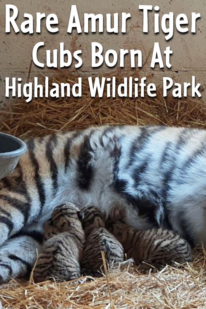 Rare Amur Tiger Cubs Born At Highland Wildlife Park